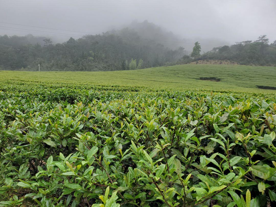 茶叶3-1080.jpg